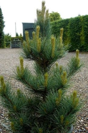 Mountain pine in landscape design: beautiful examples