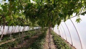 Serres à raisins: types et leurs caractéristiques