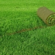 Rolled lawn: types and rules of care