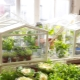 Växthus på fönsterbrädan och balkongen: alternativ för växthushus