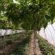 अंगूर के लिए ग्रीनहाउस: प्रकार और उनकी विशेषताएं